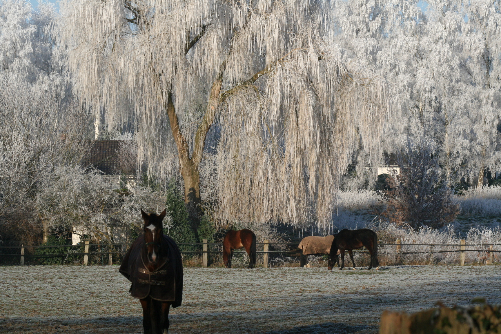 Pferde im Winter auf Weide